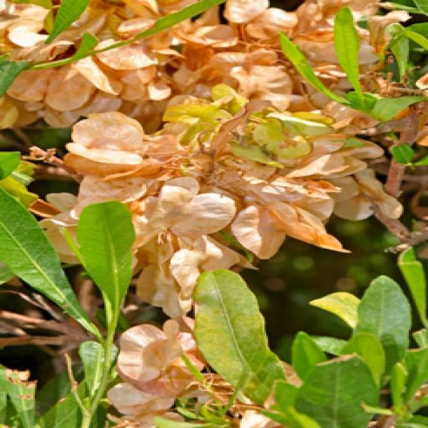 Hopseed bush,Shath