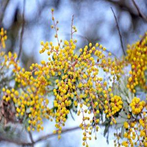Bailey's Acacia
