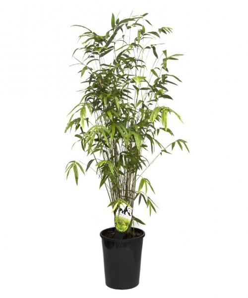 Bambusa multiplex green