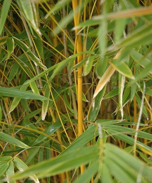 Bambusa multiplex yallow
