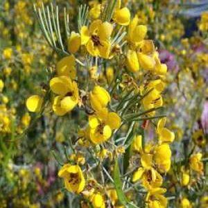 Cassia artemisioides