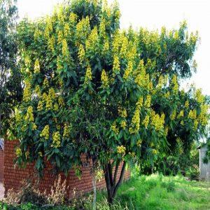 Cassia Siamea