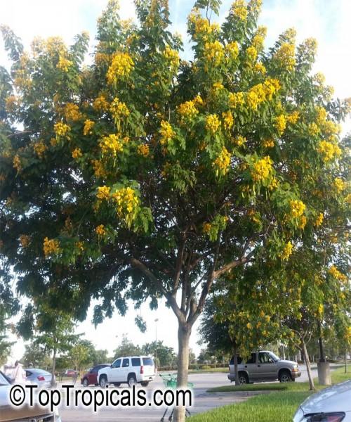 Cassia surattensis