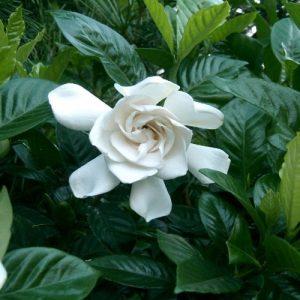 Gardenia J. First Love