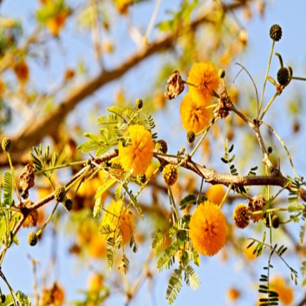 Sweet Acacia,Anbar