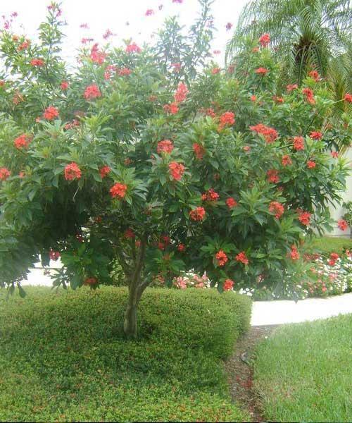 Jatropha pandurifolia