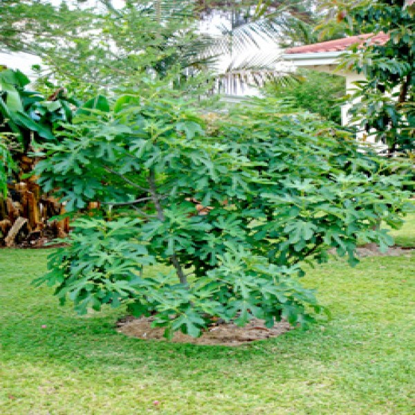 Edible fig