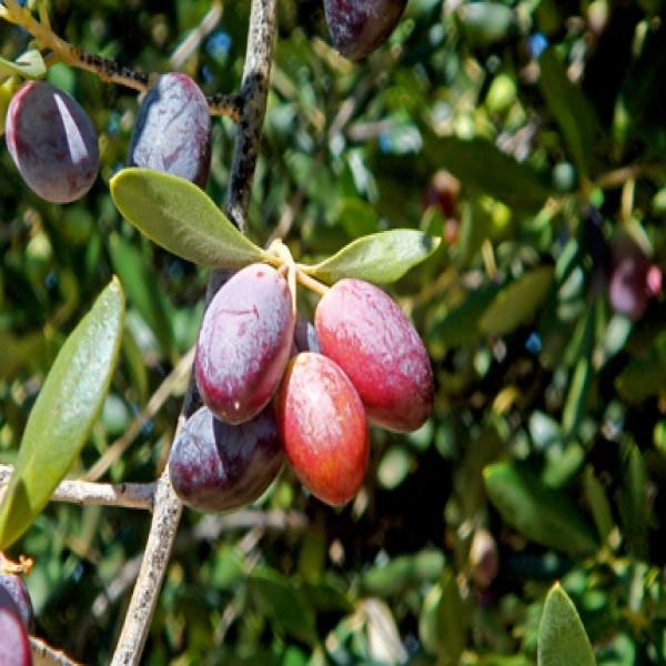 Olive,Zaytoun