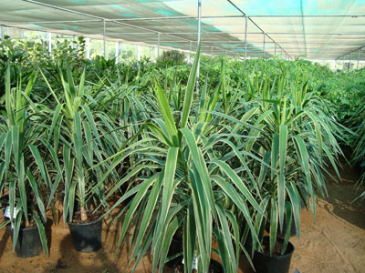 Yucca elephantipes variegata