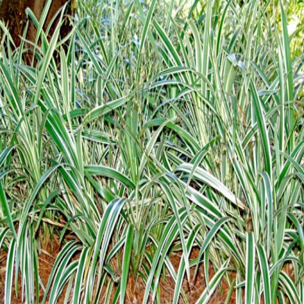 Tasmanian flax lily