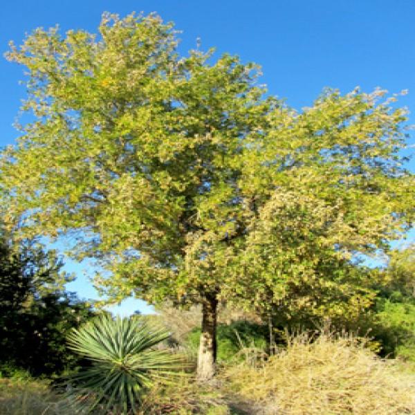 Indian rosewood,Sarsoa