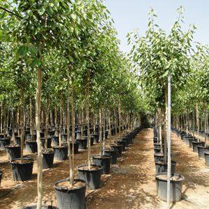 Ficus infectoria