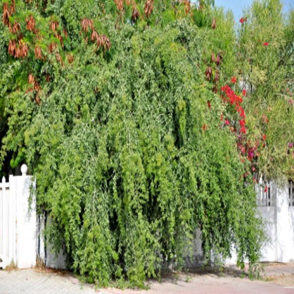 Toothbrush tree,Meswak