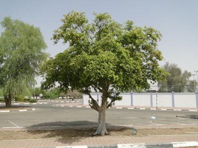 Terminalia arjuna