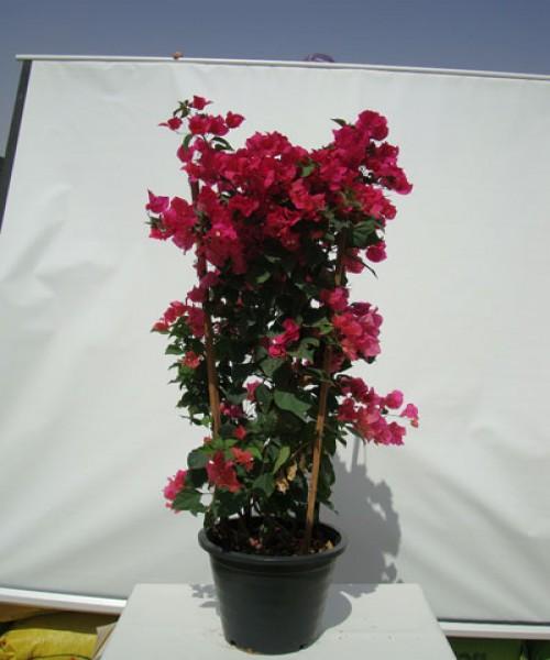 Bougainvillea nana red