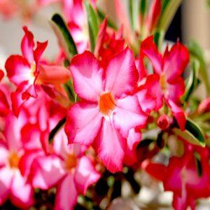 Desert rose,Adanah