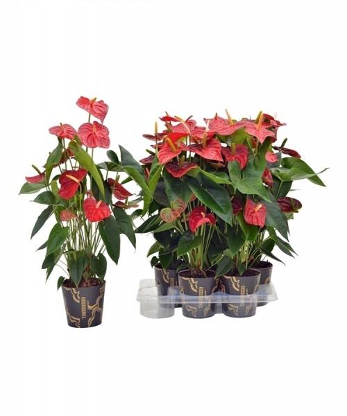 Anthurium andreanum grp dakota