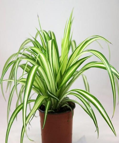 Chlorophytum comosu
