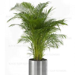 Chrysalidocarpus lutescens ove
