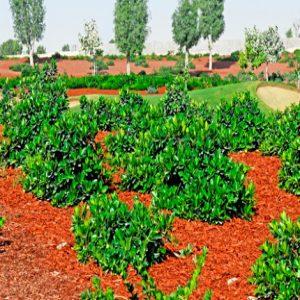 Green island Ficus