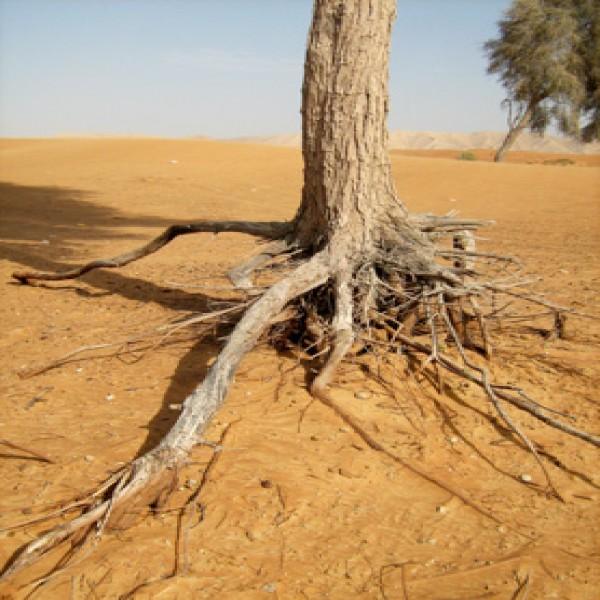 Ghaf tree,Ghaf