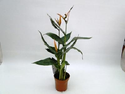 Heliconia olympic dream