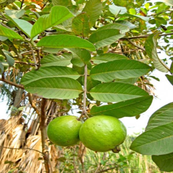 Guava,Guave