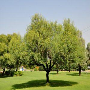 Arabian gum tree,Babul