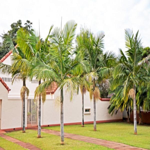 Northern Bangalow palm