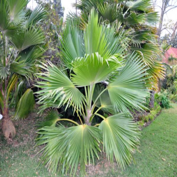 Pacific fan palm
