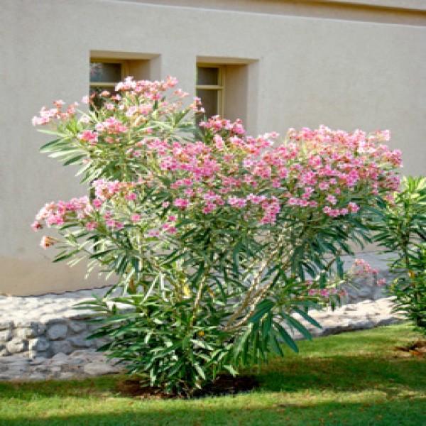 Oleander,Difflah