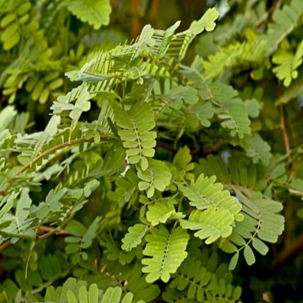 Tamarind tree,Tamar hindi