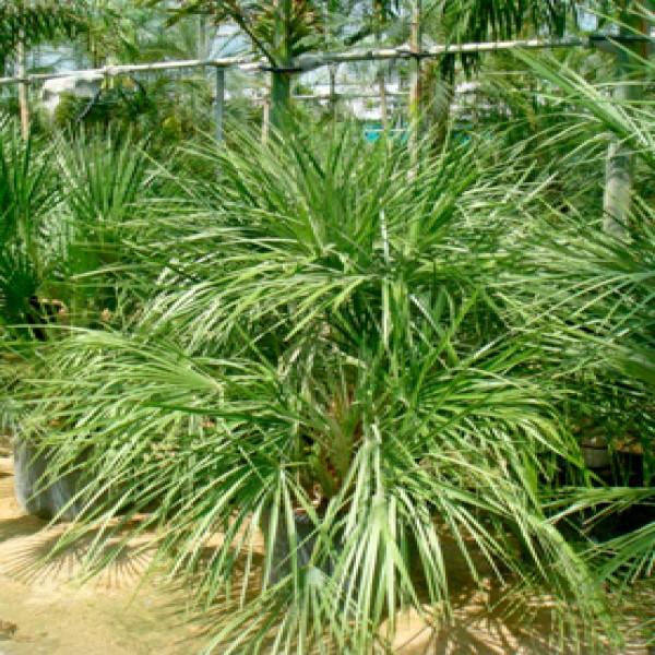Mazari palm,Doom sagir