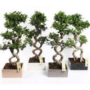 "Ficus Bonsai ""8"" Shape"