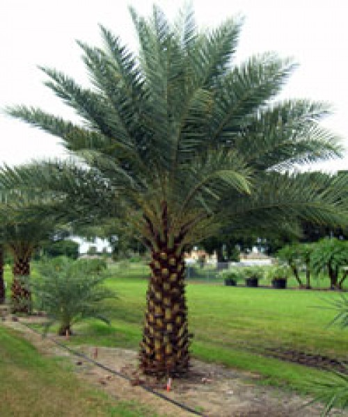 Phoenix dectylifera date palm