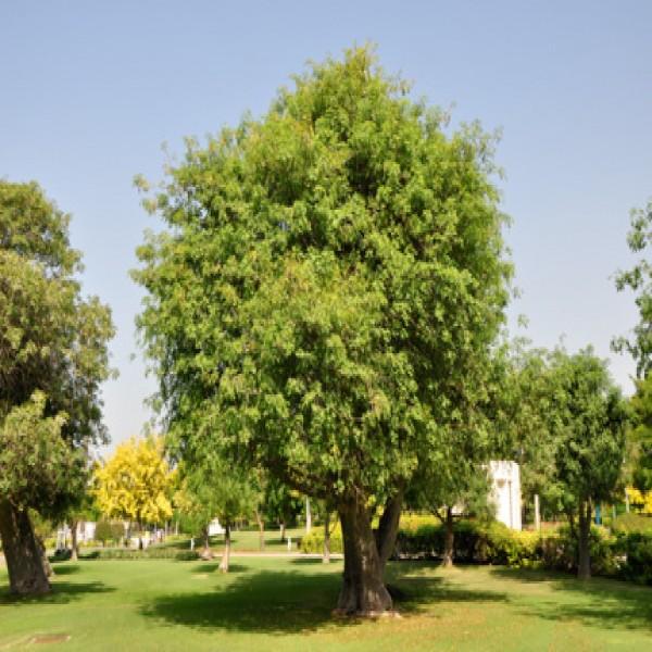 Baobab,Elbawbat