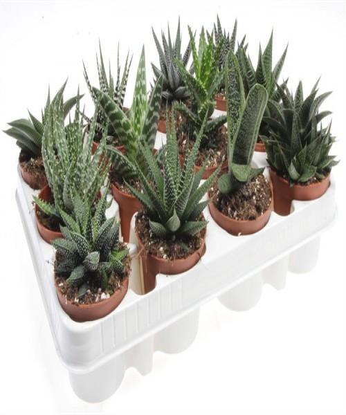 Aloe gemengd