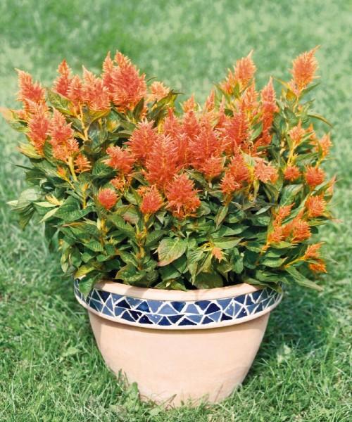 Celosia plumosa Orange