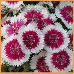 Dianthus picotee