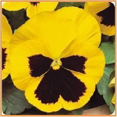 pansy yellow blotch