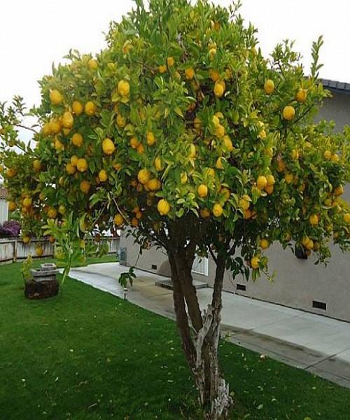 Citrus spp