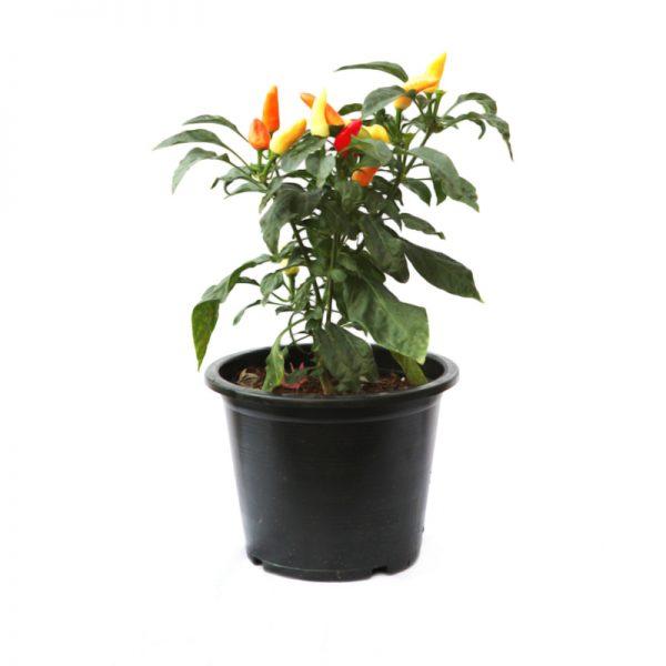 Capsicum annuum ( Hot pepper )