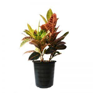 Codiaeum vareigata (Croton)