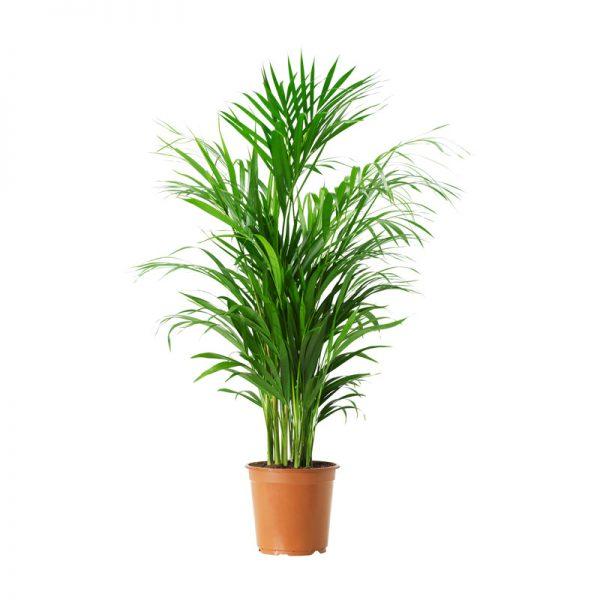 Chrysalidocarpus lutescens ( Areca Palm )