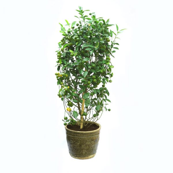 Citrus bushy