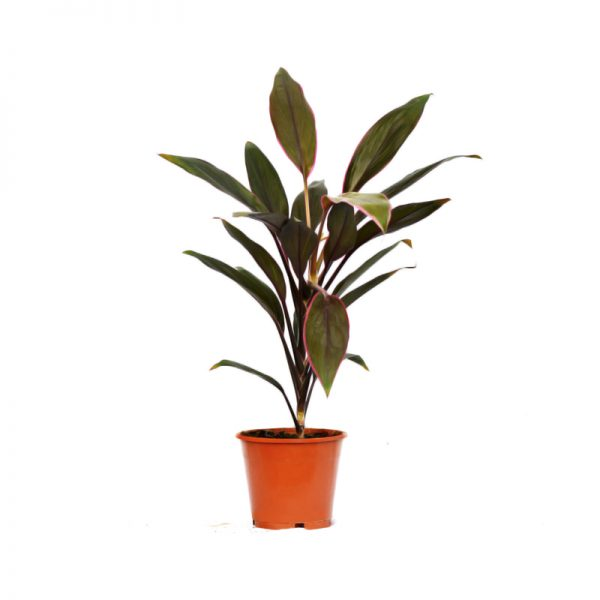 Cordyline fruticosa Tango