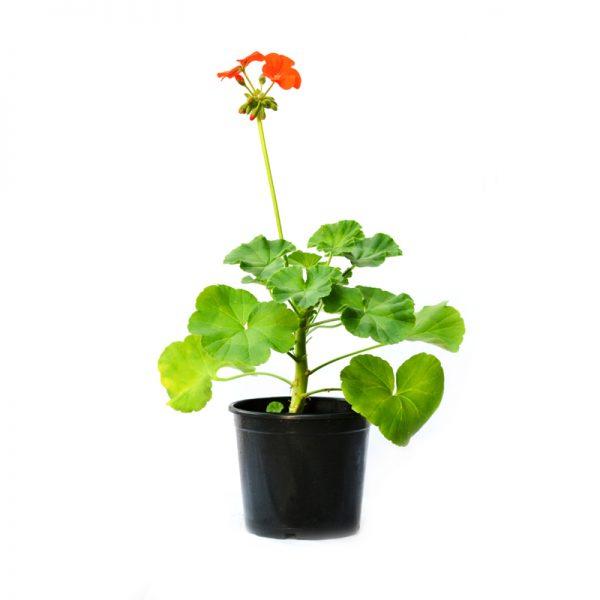 Pelargonium zonale ( Geranium Mix )