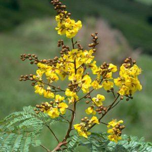 Peltophorum Pterocarpum