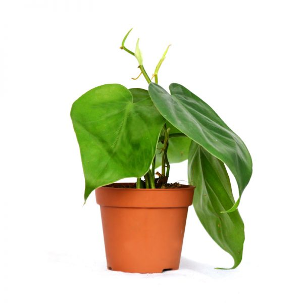Philodendron Mix