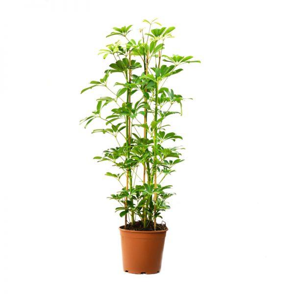 Schefflera arboricola compacta